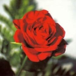 Postkarte-Ansichtskarte-Blumen-G4